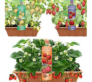 4 Bergerdbeeren
