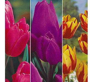 Tulpe 3 Sorten 36 Stück