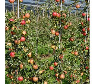 Apfel Galiwa