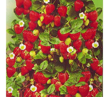 keyzers erdbeeren dauertragende sorte winterhart 12 pflanzen. Black Bedroom Furniture Sets. Home Design Ideas