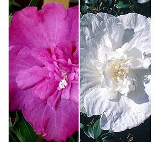 2 Hibiscus
