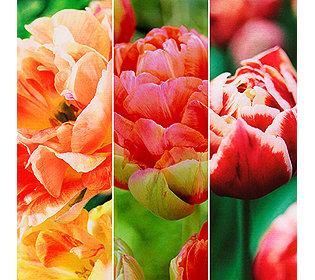 36 Tulpen-Zwiebeln