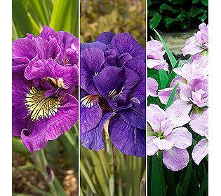 6 Iris sibirica