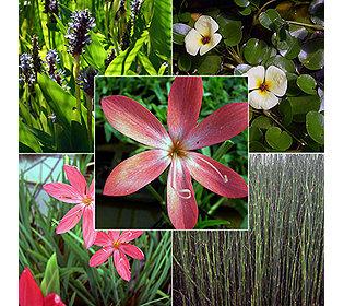 5 Teichpflanzen