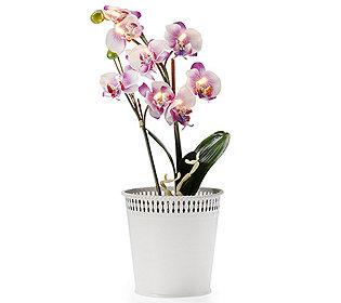 Mini-Orchidee leuchtend