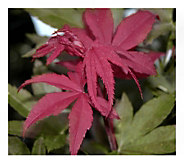 Cottage Farms 2-N-1 Japanese Maple Tree - H290900