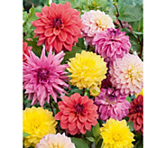 Robertas 6-Piece Dahlia All-in-One Mixture - H287901