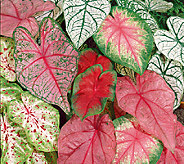 Robertas 9-Piece Fancy Leaf Caladium Mix - H285902