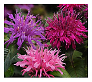Cottage Farms 3-n-1 Balmy Monarda - H290902