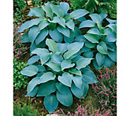Robertas 6-Piece Hosta Blue Mixture - H287903