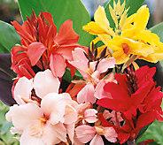Robertas 6-Piece Dwarf Canna Lilies - H285704