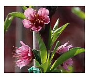 Cottage Farms Necta Me Nectarine Tree - H290904