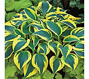 Robertas 6-Piece Autumn Frost Hosta Collection - H287905