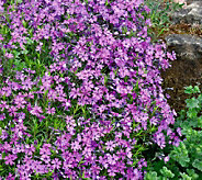 Robertas 18-Piece Creeping and Cascading Phlox - H288505