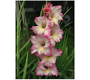 Robertas 50-Piece Knockout Gladiola Mix - H174906