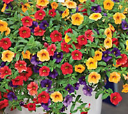 Robertas 6-Piece Caribbean Cocktail Calibrachoa Mix - H295708