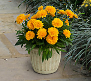 Cottage Farms 4-Piece Golden Sphere Hardy Marigold - H285812