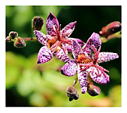 Cottage Farms 3-Piece Tricyrtis Toad Lily - H290916