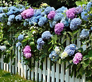 Cottage Farms 3-Piece Sub Zero Garden Party Hydrangea - H285818