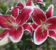 Robertas 96-Piece Oriental Stargazer Lily Collection - H368119