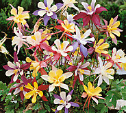 Robertas 8-Piece Giant McKana Columbine Mix - H285920