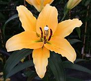 Robertas 6-pc Corcovado Orienpet Lily - H285724