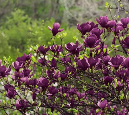 cottage farms fragrant deep purple genie magnolia. Black Bedroom Furniture Sets. Home Design Ideas