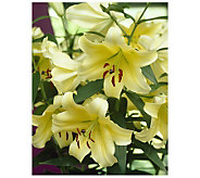 Robertas 12-Piece Yellow Oriental Lily Collection - H174832