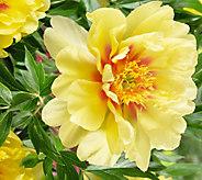 Robertas 1-Piece Bartzella Yellow Itoh Peony - H295132