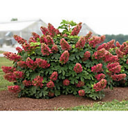 Cottage Farms 2-Piece Ruby Slippers Hydrangea Collection - H287839