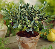 Robertas 1-Piece Black Arbequina Olive Tree - H365440