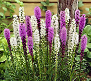 Robertas 40-Piece Blazing Star Liatris Collection - H365448