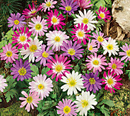 Robertas 20-Piece Amazing Windflower Collection - H285852