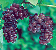 Robertas 2-Piece Reliance Red Seedless Grape - H285854