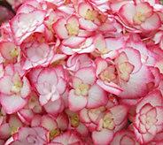 Cottage Farms 2-Piece Miss Saori Hydrangea - H295354