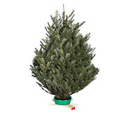 Del Week 11/28 Carolina Fraser 30-36 Tabletop Fraser Tree - H364154