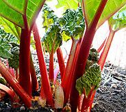 Robertas 2-Piece Crimson Red Rhubarb Collection - H285856