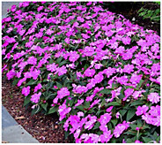Cottage Farms 6-Piece Bella Grape SunPatiens - H290856