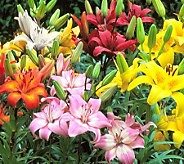 Cottage Farms 25 Piece Rainbow Asiatic Lily Mix - H357256