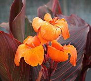 Robertas 4-Piece Tropical and Multihued Tropicanna Canna Lily - H285960