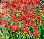 Robertas 15-Piece Dwarf Lucifer Red CrocosmiaCollection - H290660