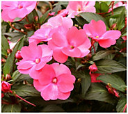 Cottage Farms 6-Piece Paradise Pink SunPatiens - H290860