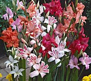 Robertas 30-Piece Winter Hardy Sub-Zero Gladiola Mixture - H290662