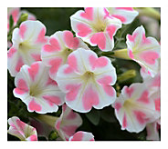 Cottage Farms 6-Piece Heartbeat Surfinia Petunias - H290864