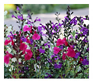 Cottage Farms 4-Piece 3-n-1 Mirage Salvia - H290866