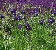 Robertas 3-Piece Siberian Irises All CaesarsBrother - H285868
