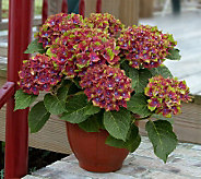 Cottage Farms 3-Piece Reblooming Pistachio Hydrangea - H365268