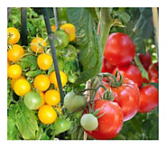 Cottage Farms Take Two Tomato - H290870
