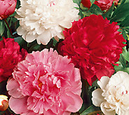 Robertas 3-Piece Cotton Candy Peony Mix - H285872