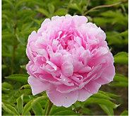 Robertas 3 Piece Sarah Bernhardt Garden Peony - H174876